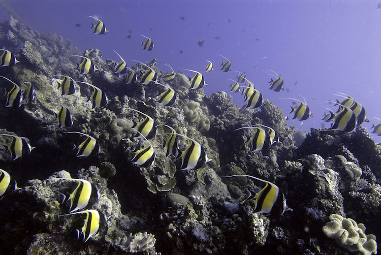 Photo: A school of Moorish Idols cruise over the coral reef, Ha'apai, Tonga. Credit: UNEP GRID Arendal/Glenn Edney