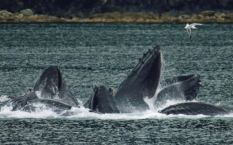 Photo: Humpback whales in North Pass between Lincoln Island and Shelter Island in the Lynn Canal north of Juneau, Alaska. This is a group of 15 whales that were bubble net fishing on 18 August 2007. Credit: Wikimedia Commons