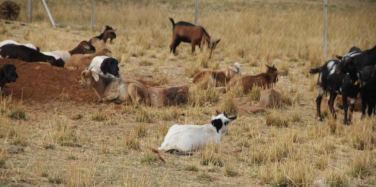 Photo: With incessant droughts owing to climate change effects, many women in Southern Africa have turned to alternative agricultural  ways such as goat breeding as they battle to survive the growing impacts of climate change here. Credit: Jeffrey Moyo | IDN-INPS
